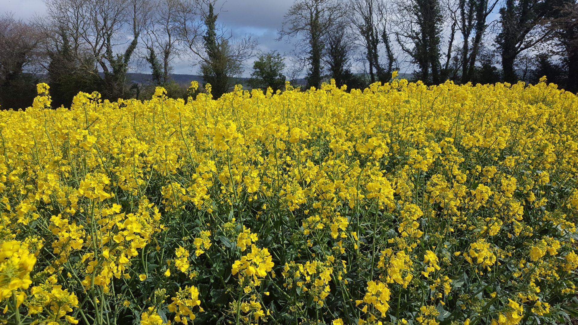 Winter Oilseed Rape Seedtech